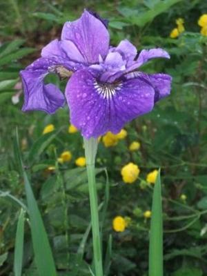 Irissiberica1