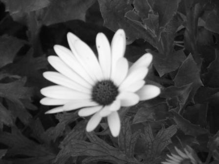 Osteospermum_astiwhite2011_10