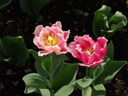 Fringe_tulip_3