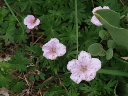 Geraniumsanguineum1