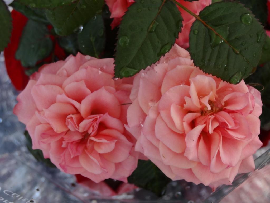 Roses17fevrier2013_001