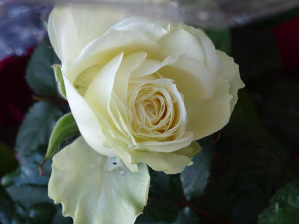 Roses17fevrier2013_002