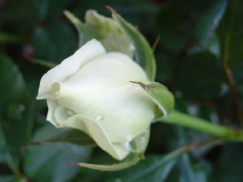 Roses17fevrier2013_003